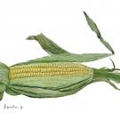 桑内加代子:トウモロコシ