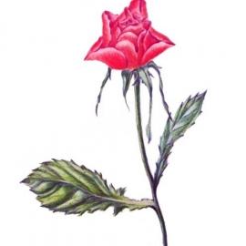 バラ:色鉛筆画