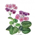プリムラオブコニカ(足立順子)
