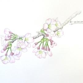 吉本ソメイヨシノ4201704