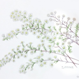 キダチコンギク(木立紺菊)