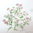 ピンクの菊:吉本一彦