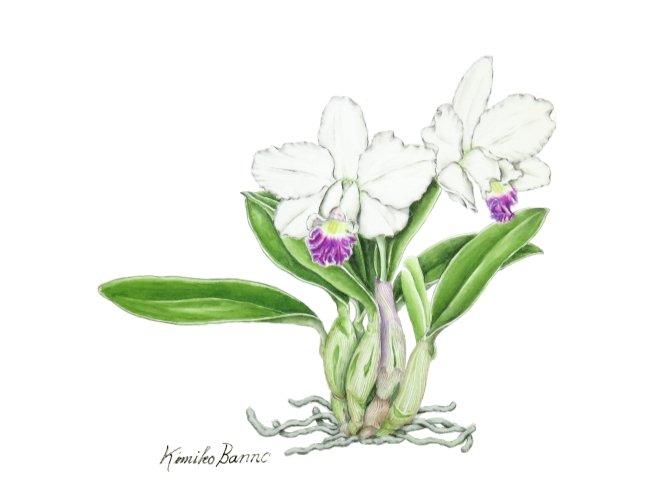 Lc Hau Yuen Angel`Pekoe`(阪野貴美子)201607