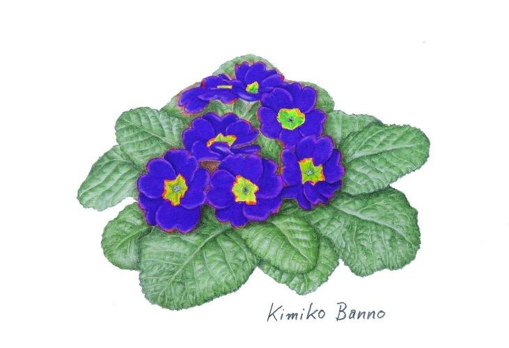 プリムラジュリアン青紫201601
