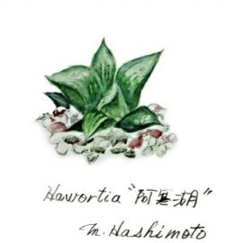 haworthia 阿寒湖
