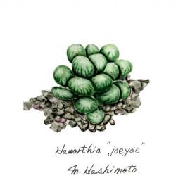 haworthia joeyae