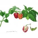 トウガラシ:ナガ・バイパー