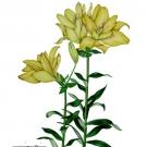 黄色い八重のスカシユリ