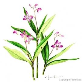 Dendrobium kingiaunm(小池昇司)