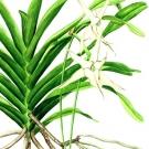 Angraecum sesquipedale(小池昇司)