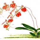 Comparettia speciosa(小池昇司)