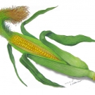 トウモロコシ(中野銑造)