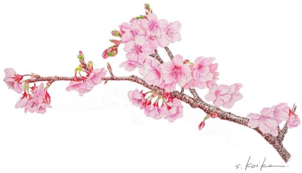緋寒桜201302-800