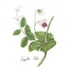 エンドウの花,佐藤加代子