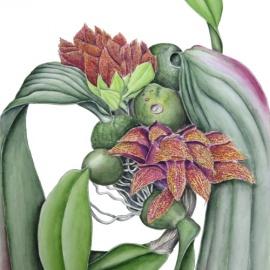 Bulbophyllum-Phalaenopsis