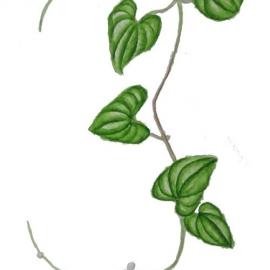 石原須美子:長芋のつる