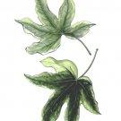 小川和彦観葉植物ヘデラ2018