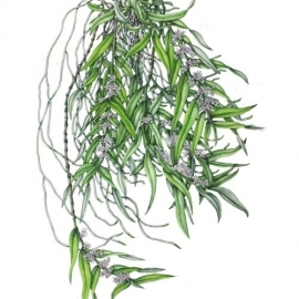 500山本昌宏2017Trichoglottis (Trgl.)  amesiana semi alba