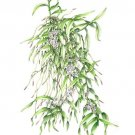 500山本昌宏Trichglottis rosea var breviracema