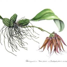 500山本昌宏2017Cirrhopetalum(Cirr.) Louis Sanderx Bulbophyllum(Bulb.) phalaenopsis