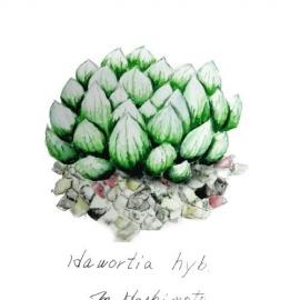 haworthia hyb