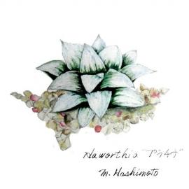 Haworthia プラチナ