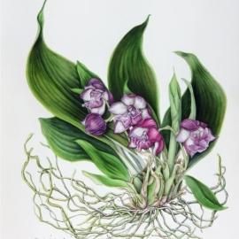500伊藤みゆき紫のラン2018