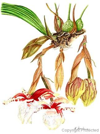 Stanhopea tigrina(小池昇司)