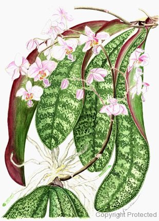 Phalaenopsis  Carmela's Pixie(小池昇司)