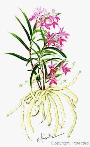 Epidendrum centradenium   桜姫千鳥(小池昇司)