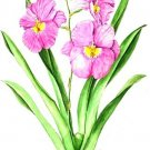 miltonia secondlove(小池昇司)