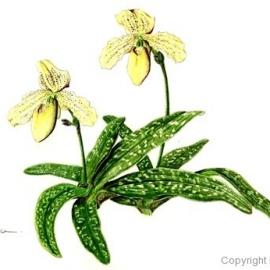 paphiopedilum concolor(小池昇司)