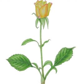 黄色いバラ(山田玲子)