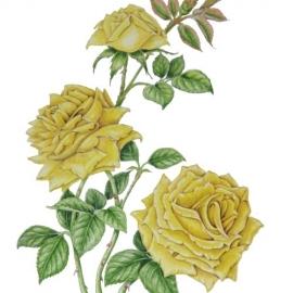 黄色いバラ(藤川悟)