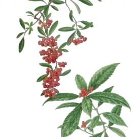 庭の赤い実(稲田善和)