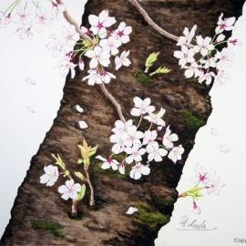 ソメイヨシノ(稲田善和)