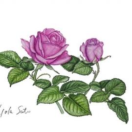 500佐藤洋子紫のバラ2018