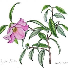 500佐藤洋子ツバキCamelia Tulip Time2018